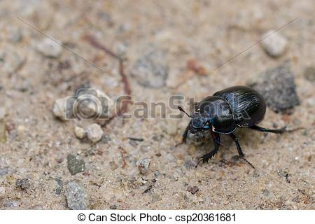 Pictures of Macro shot of a common dung beetle walking in the sand.