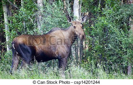 Stock Photo of Giant Alaskan Moose Female Feeds on Leaves Forest.