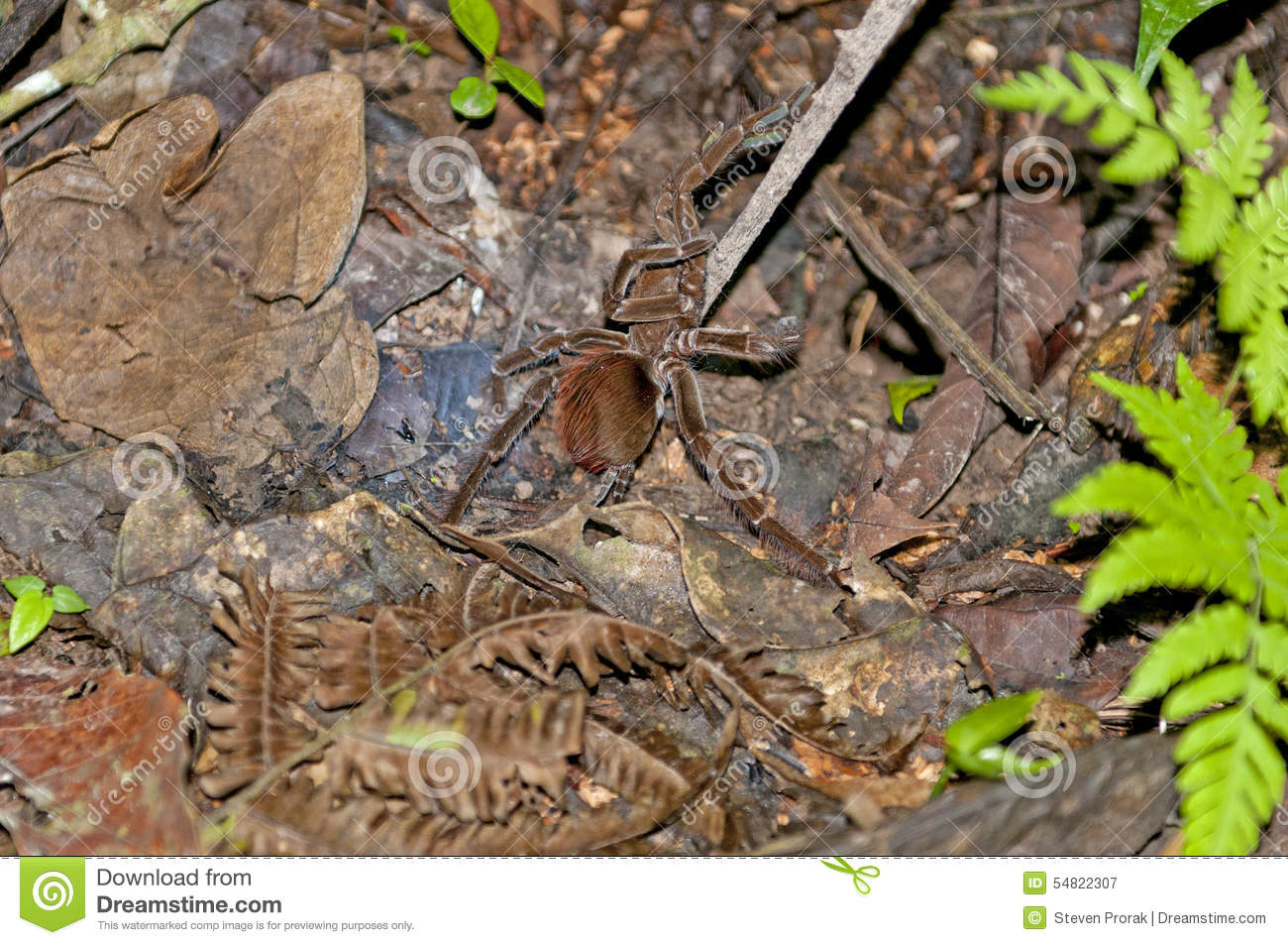 Tarantula On The Rain Forest Floor At Night Stock Photo.