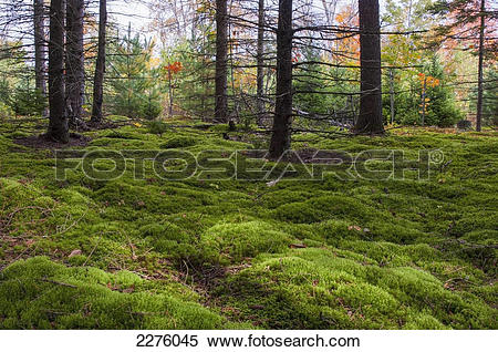 Stock Image of Lush growth on a forest floor; quebec canada.