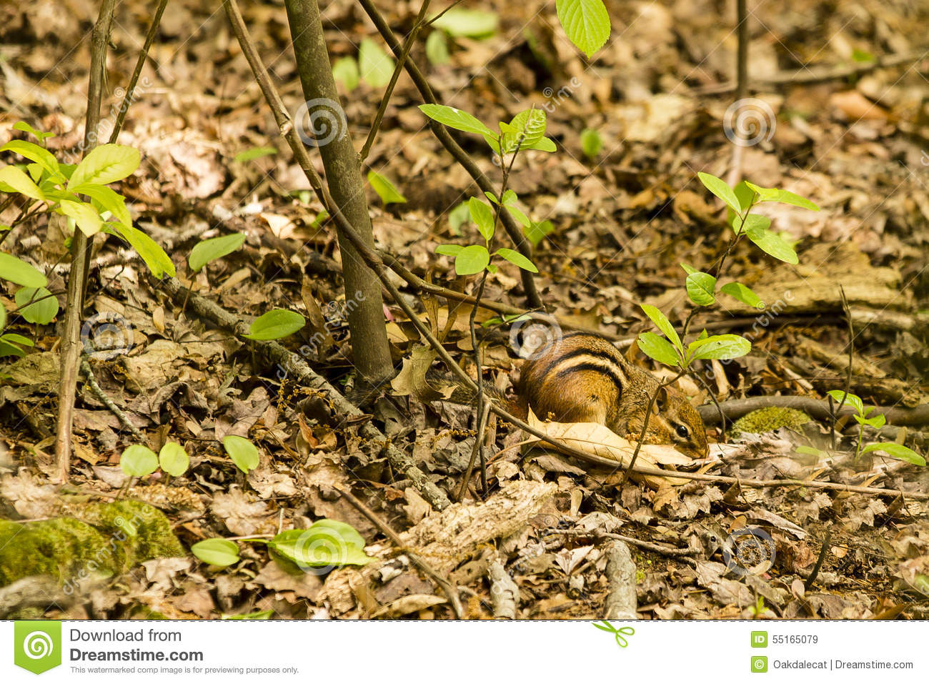 Eastern Chipmunk Camouflaged On Forest Floor Stock Photo.