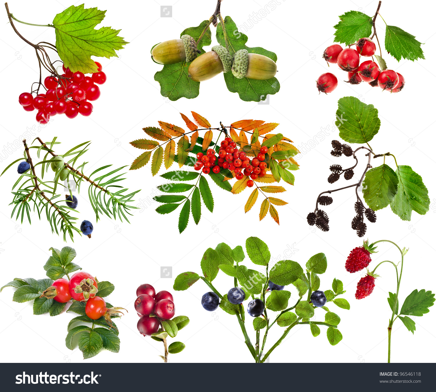Collection Set Wild Forest Berries Plants Stock Photo 96546118.