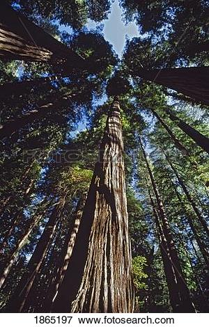 Picture of Tall redwood trees in a forest grove, California, USA.
