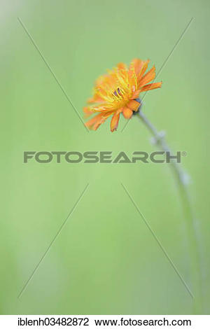 "Stock Photo of ""Hawkweed (Hieracium rubrum), Stovern Forest."