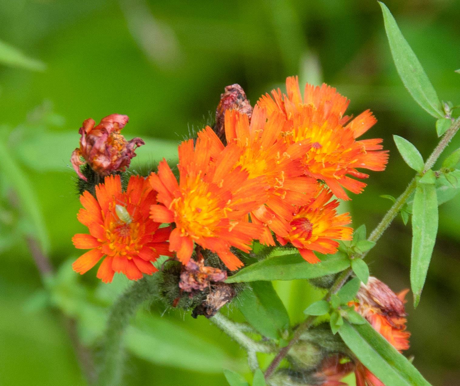 Hieracium aurantiacum (Orange Hawkweed).