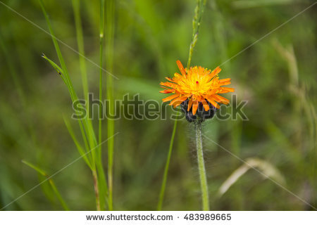 Orange Hawkweed Stock Photos, Royalty.