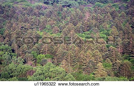 Stock Photo of Far East, Siberia, background, fir, forest.