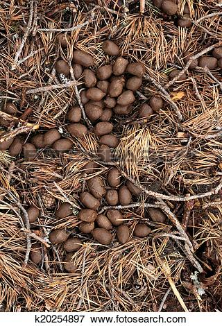 Picture of Moose poop in forest litter k20254897.