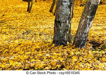 Stock Photo of yellow leaf litter under birch trees in autumn.