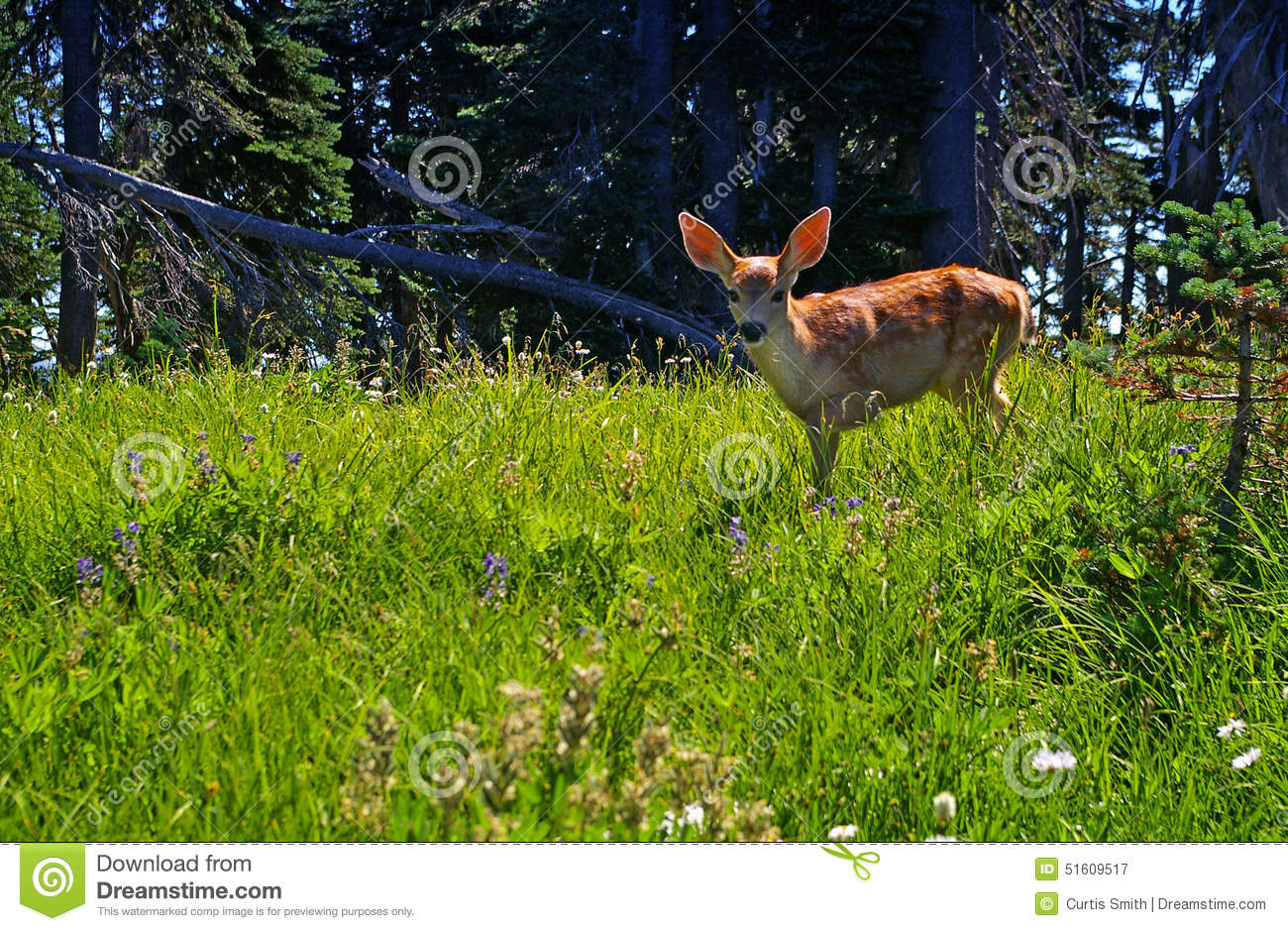 Young Deer Fawn In A Forest Meadow Stock Photo.