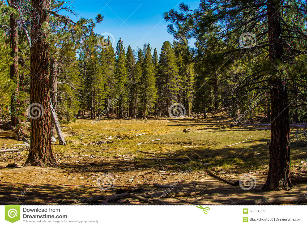 Pine Forest Meadow Stock Photo.