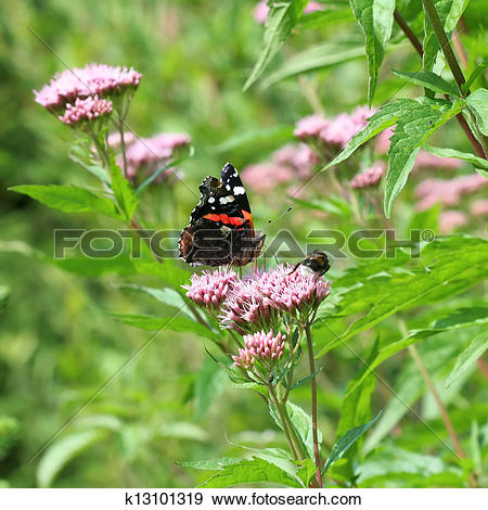 Stock Photograph of Red Admiral Vanessa atalanta buttefly in.