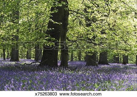 Stock Photo of bluebells and beech tree in oak woodland, cannop.