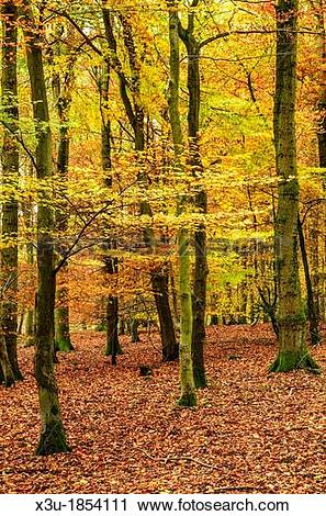 Stock Photography of Autumn colours in a Beech Woodland Forest of.