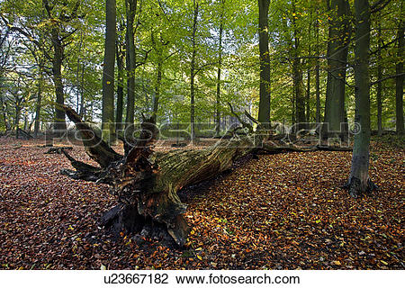 Stock Photo of England, Gloucestershire, Cinderford, Autumn leaves.