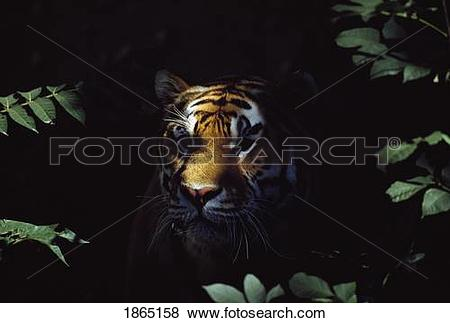 Pictures of Siberian tiger (Panthera tigris altaica) peers from.