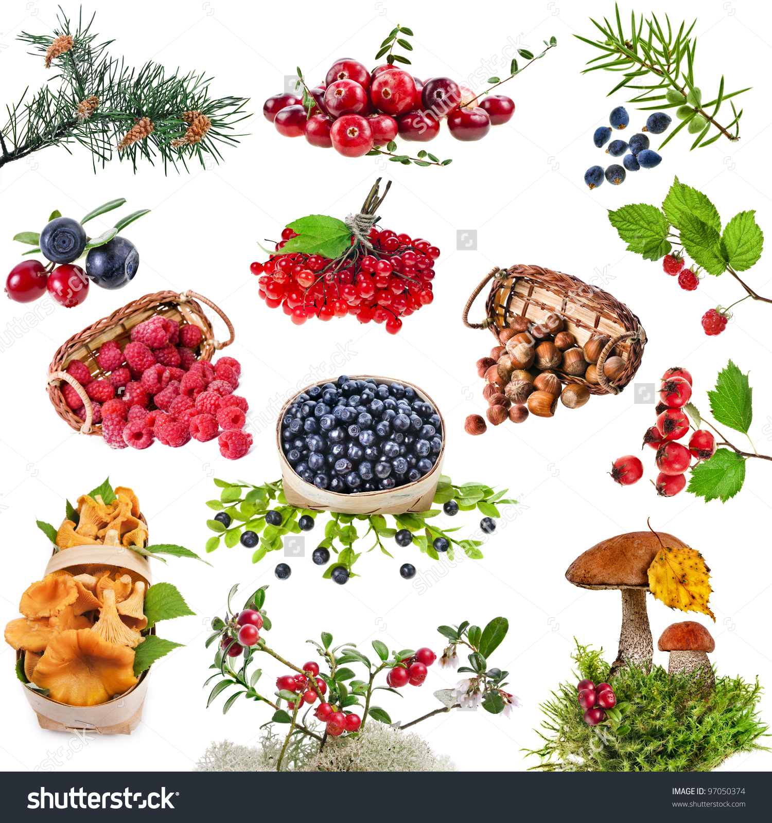 Collection Set Wild Forest Plants Berries Stock Photo 97050374.