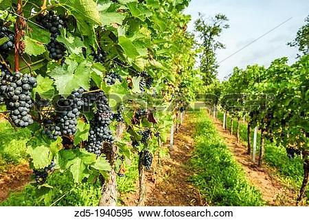 Stock Image of Vineyards, grapevines in Edenkoben, German Wine.