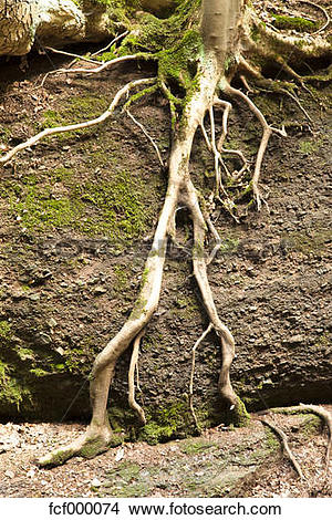 Stock Photo of Germany, Harz, Forest soil with roots fcf000074.