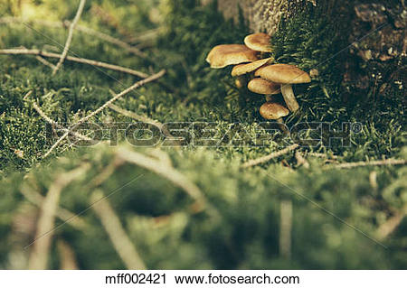 Stock Photography of Honey fungi on forest soil mff002421.