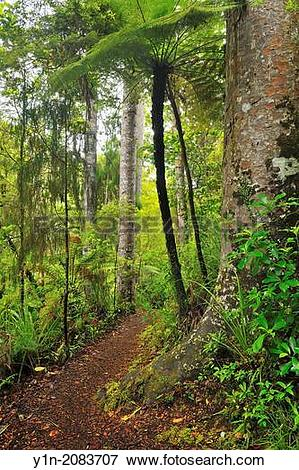 Picture of Forest Trail, Waipoua Kauri Forest, Temperate Rain.