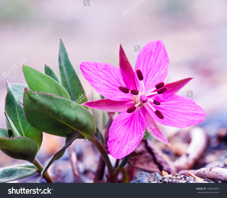 Beautiful Flower Dwarf Fireweed River Beauty Stock Photo 196644875.