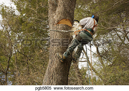 Stock Image of Forestry worker, tree surgeon, at work on large.
