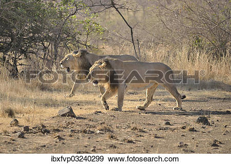 "Stock Photograph of ""Two male Asiatic Lions (Panthera leo persica."
