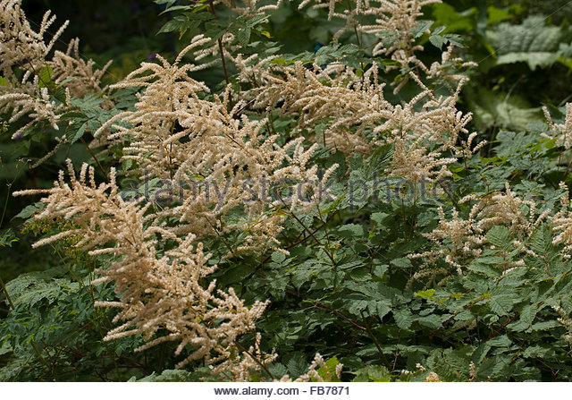 Aruncus Sylvestris Stock Photos & Aruncus Sylvestris Stock Images.