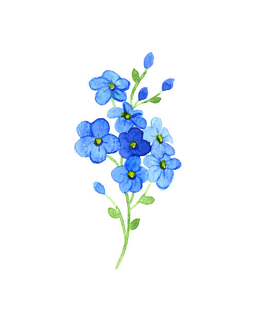 Best Forget Me Not Illustrations, Royalty.