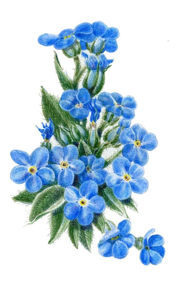 Forget Me Not Drawings Bulb Pictures to Pin on Pinterest.
