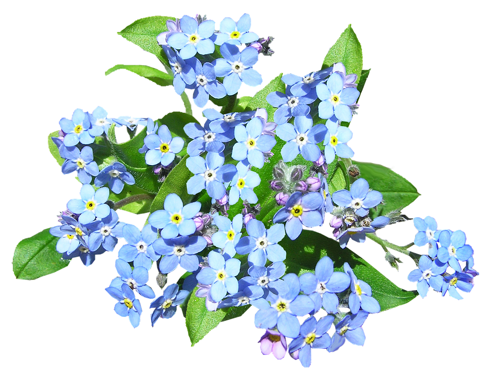 Blue Flowers Forget Me Not.