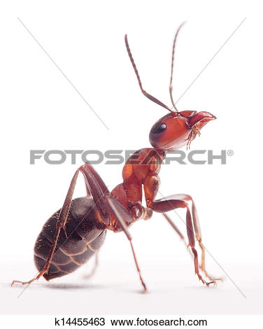 Stock Photo of proud ant formica rufa k14455463.