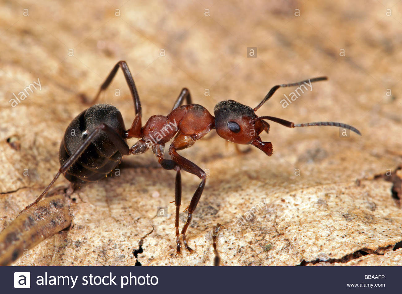 Red Wood Ant (formica Polyctena Stock Photo, Royalty Free Image.