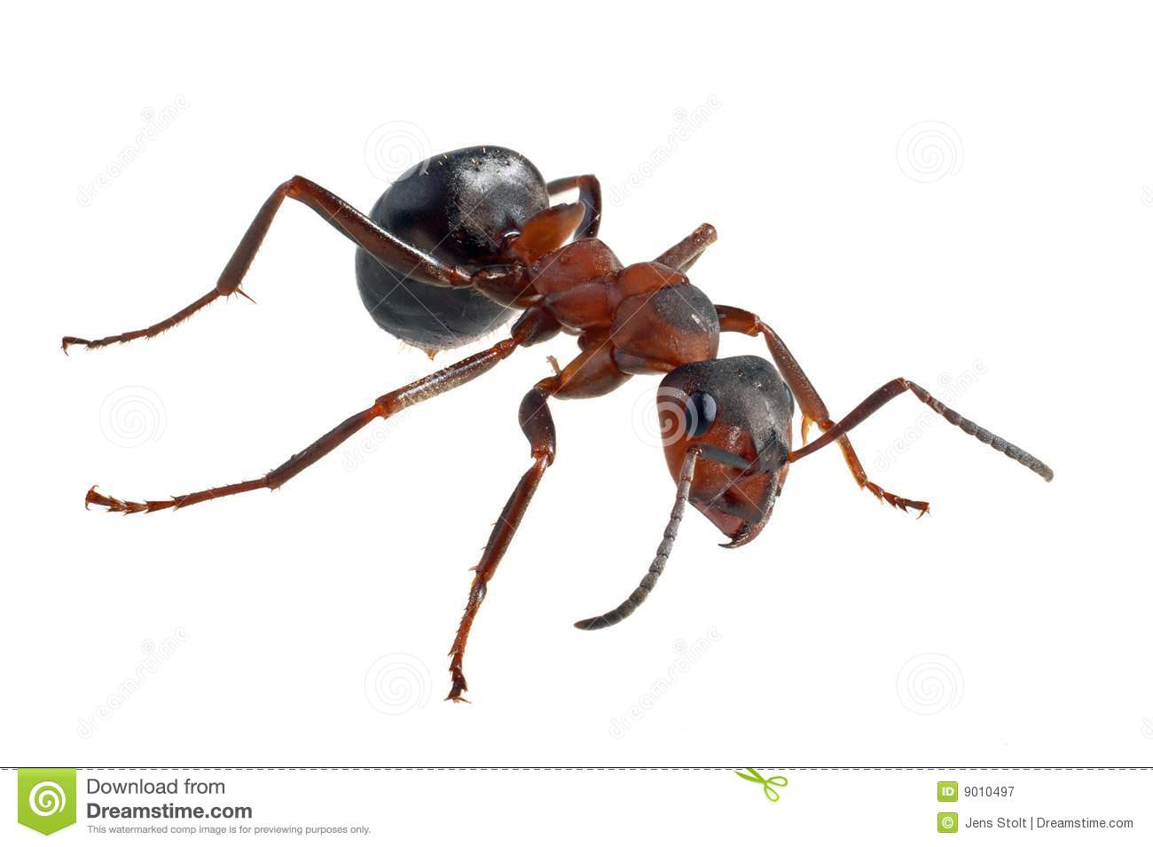 Ant (Formica Polyctena) Royalty Free Stock Photography.