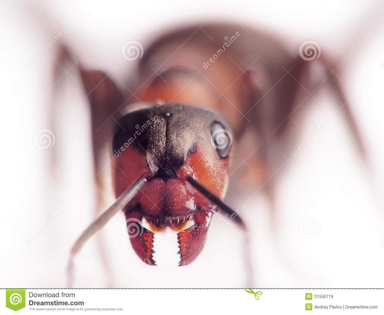 Ant Formica Rufa Face.