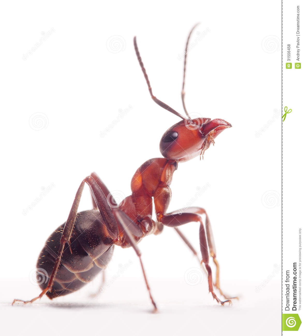 Proud Ant Formica Rufa Royalty Free Stock Photos.