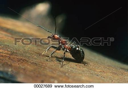 Stock Photograph of Formica, Formica rufa, Formicidae, Juniors.