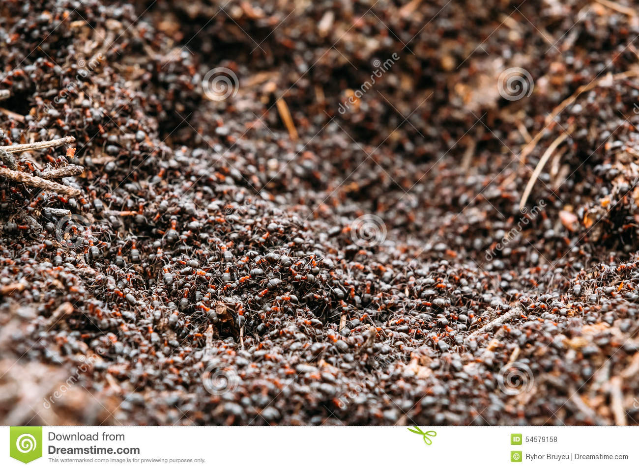 Background Of Red Ant Colony Formica Rufa Stock Photo.