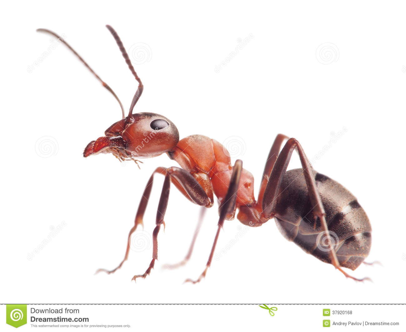 Ant Formica Rufa On White Royalty Free Stock Photos.