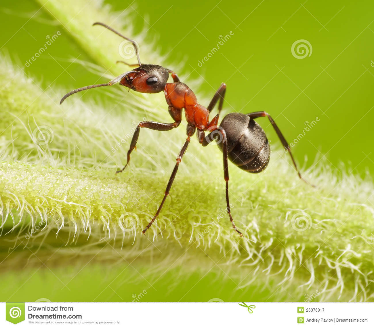 Ant Formica Rufa On Grass Royalty Free Stock Photography.