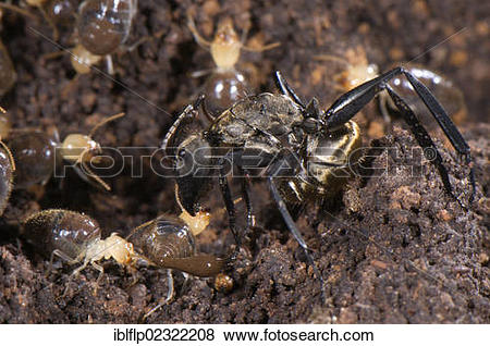 "Pictures of ""Ant (Formicidae sp.), adult, preying on termites, Los."