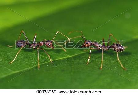 Stock Photograph of Formicidae, Juniors, animal, animals, ants.