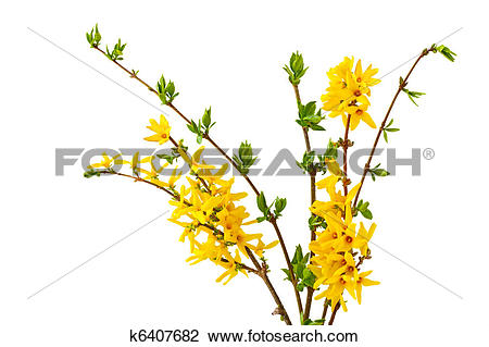 Stock Photo of Forsythia Bundle k6407682.