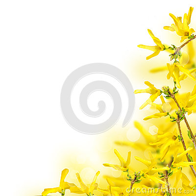 Bright Forsythia Flowers In Spring Stock Image.