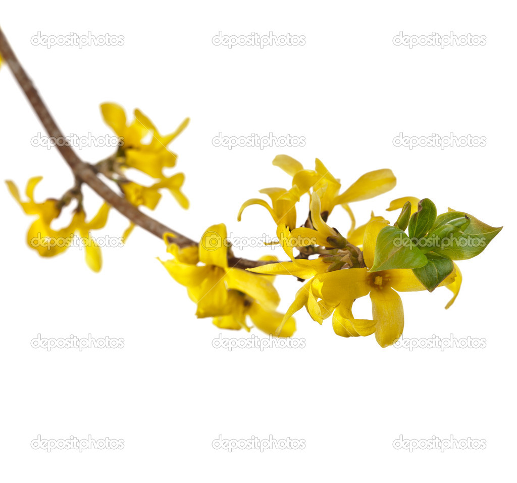 Forsythia (Oleaceae) flowers — Stock Photo © Madllen #13839856.