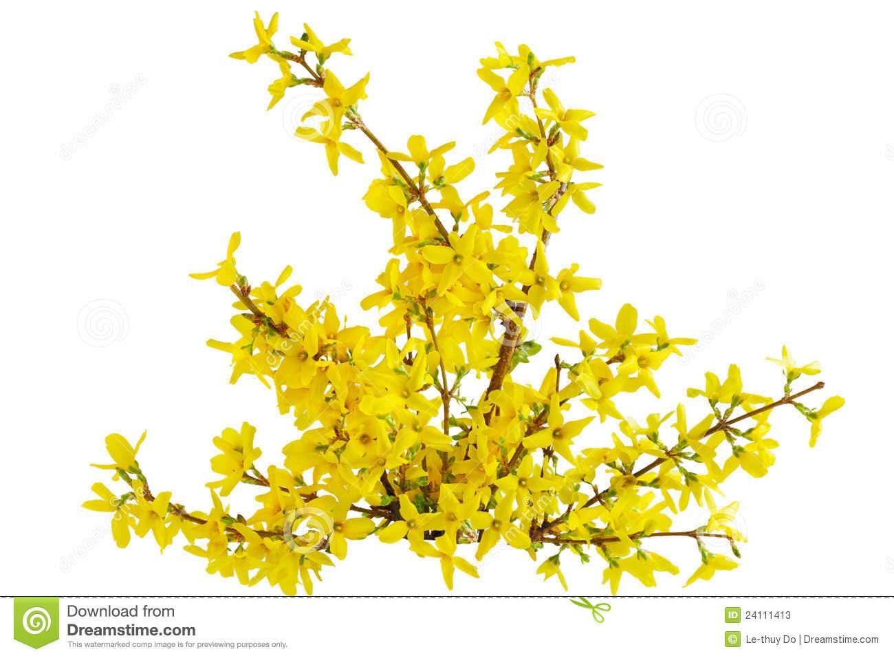 Forsythia Laburnum Flower Stock Photos.