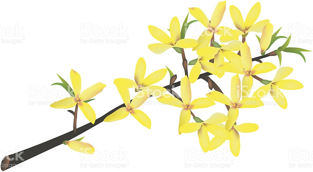 Forsythia Clip Art, Vector Images & Illustrations.