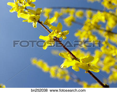 Pictures of Forsythia flowers bn252038.