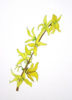 Forsythia Branch Print, botanical prints, botanicals, flower.